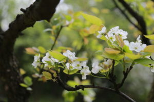 nature 3297432 1920 300x200 - Święto kwitnącej wiśni