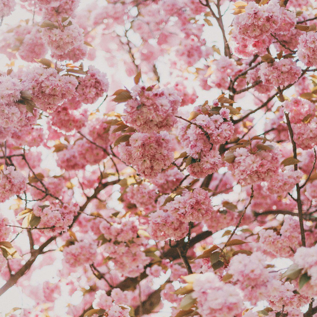 Święto kwitnącej wiśni