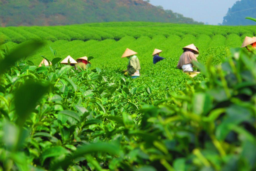 tea 2119434 1920 1024x683 - Olejek herbaciany - pochodzenie i właściwości
