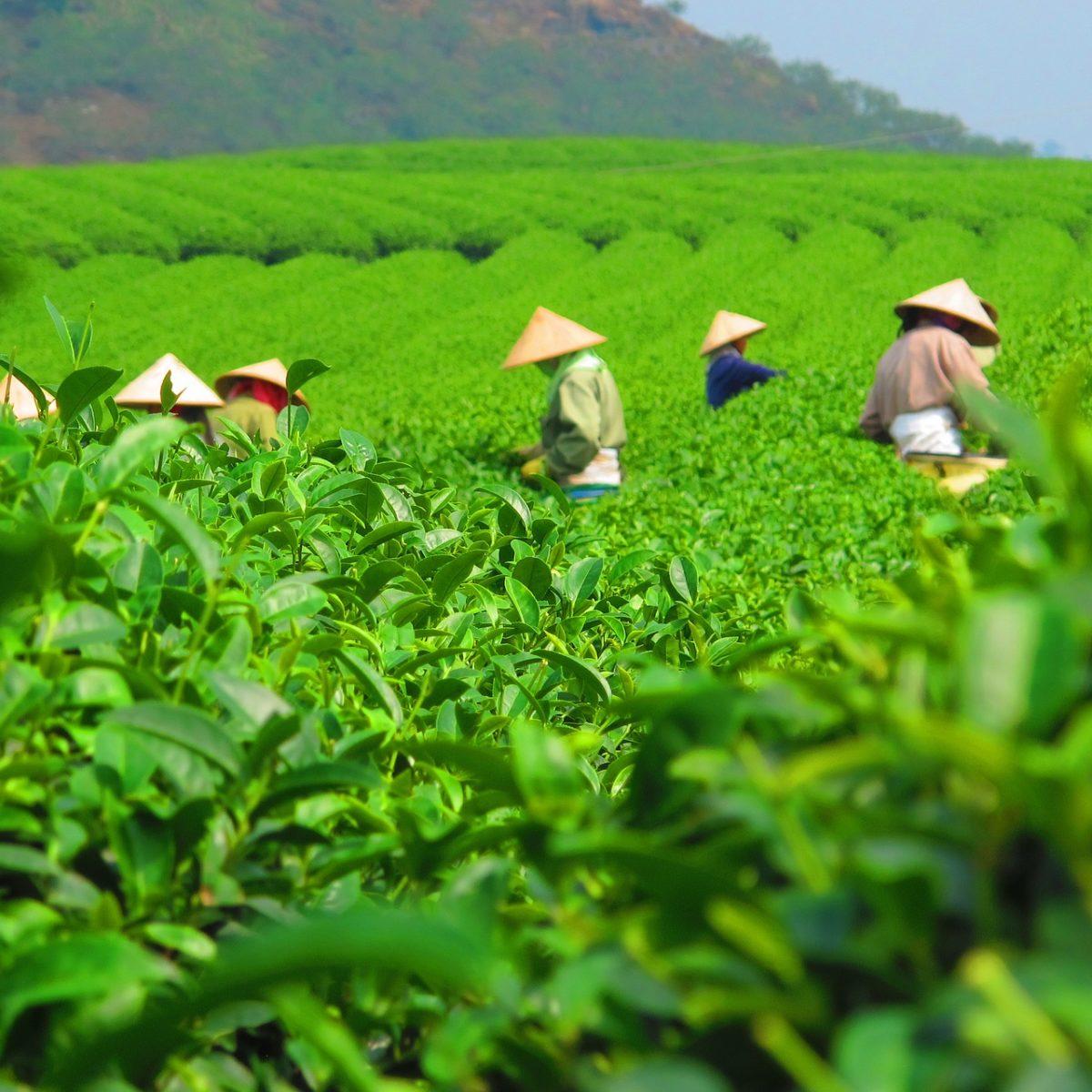 Olejek herbaciany – pochodzenie i właściwości